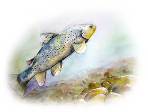 Aquarelle : la Truite Fario - ANT - Atelier Nature & Territoires