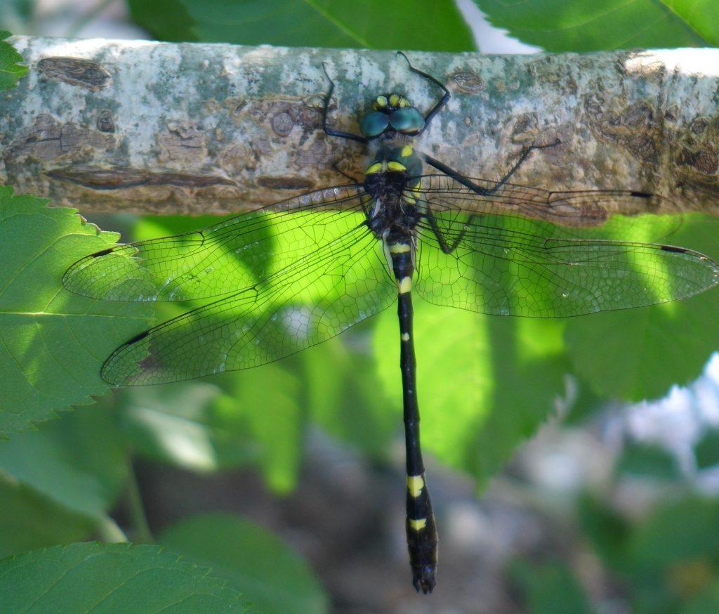 Cordulie splendide, macromia splendens