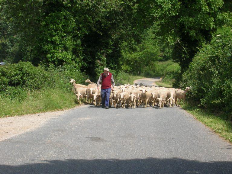 L'élevage ovins : un élévage de tradition