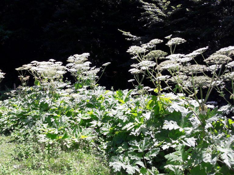Plante exotique - Berce de Caucase